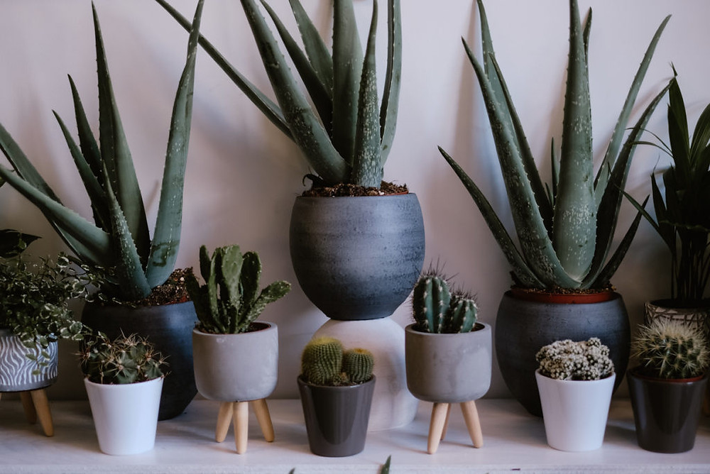 Aloe Vera and Cactus on shelf
