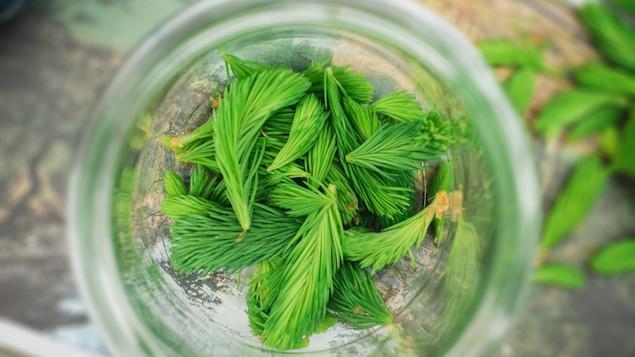 Des bourgeons d'épinette dans un contenant de verre.