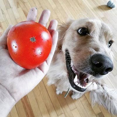 Première tomate ronde de l'année ! Avec