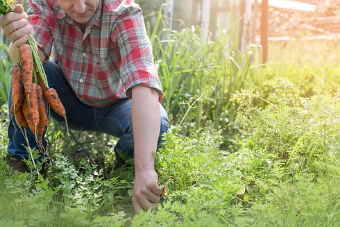 Harvesting%20Carrots_edited.jpg