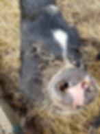 Cesquealia Pig