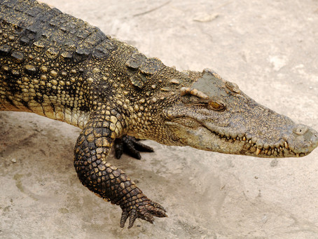 Spaziergang mit Krokodil