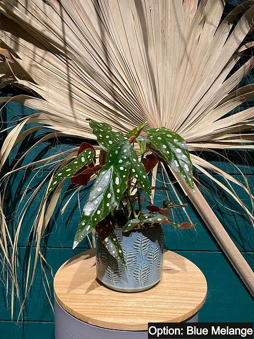 Begonia (Forellenbegonie)