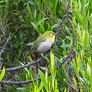 japanese-white-eye_web.jpg