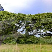 Monkey Pod Trees