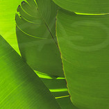 Heliconia Leaves