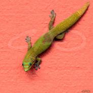 Gecko I