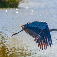 Blue Heron Aglow
