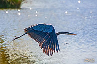 blue-heron-aglow.jpg