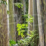 Rainbow Eucalyptus I
