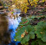 Giant Leaves on Rock Creek