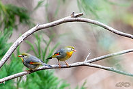 Red-billed-Leiothrix_web3.jpg