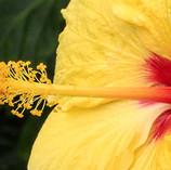 Yellow Hibiscus I
