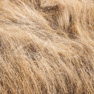 Hairy Grass
