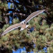 Tahoe Gull