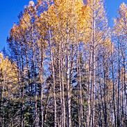 Yellow Aspen and Blue Sky