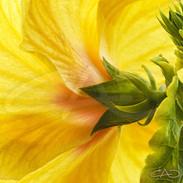 Yellow Hibiscus IV