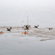 Pelicans and Paddlers