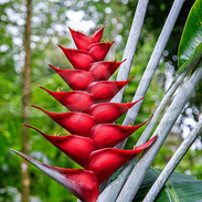 Red Lobster Claw Heliconia II