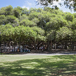Lahaina Banyan Tree
