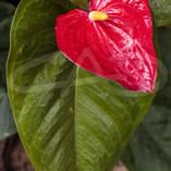 Red Anthurium I