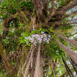 Orchids In The Banyan Tree