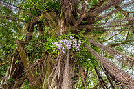 orchids-in-the-banyan-tree.jpg