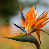 Bird of Pardise III