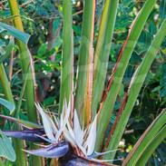 Flowering Travelers Palm