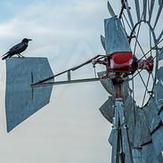 Crow on The Old Windmill