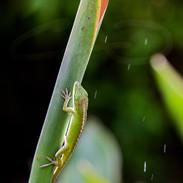 Gecko II