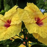 Yellow Hibiscus III