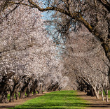 Almonds in Bloom