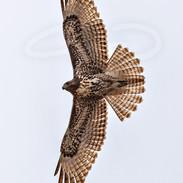 Norther Harrier (Marshhawk)