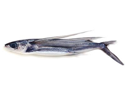 飛び魚(屋久島産)