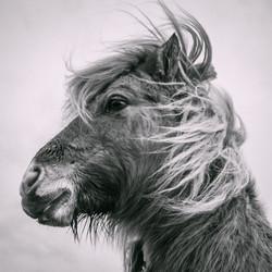 Sgioport Pony 1