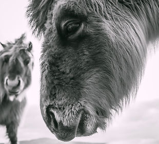 Uist ponies