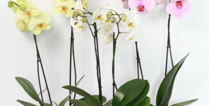Surprise de 3 orchidées avec cache-pot assorti