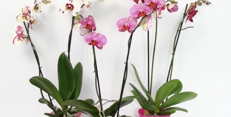 Surpise de 3 orchidées couleurs spéciales et originale avec cache-pot assorti