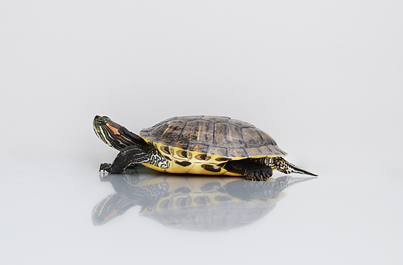 Red-eared Slider Image No. 30
