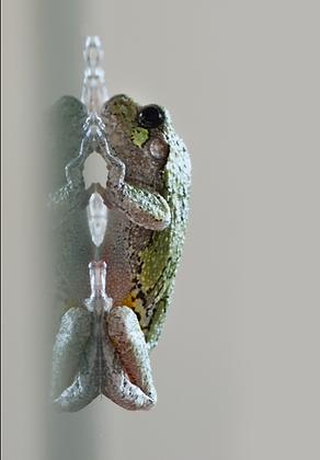 Gray Treefrog Image No. 121