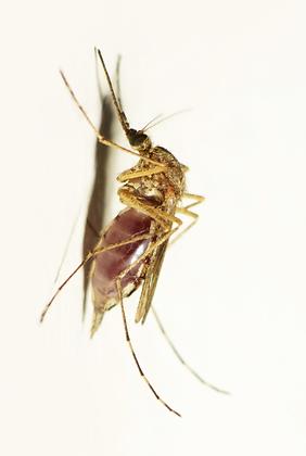 Mosquitoe Image No. 113