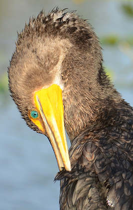 Double-crested Cormorant Image No. 81