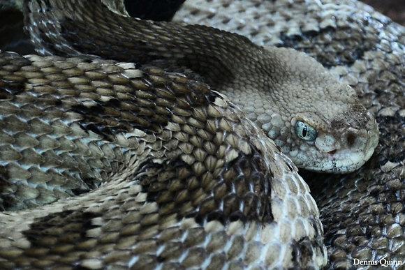 Gray Morph Timber Rattlesnake  Image No. 027
