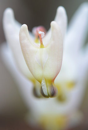 Dutchmans Breeches Image No. 100