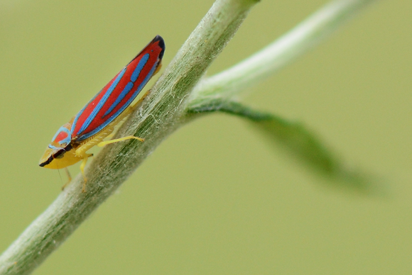 Scarlet and Green Leafhopper Image No. 061