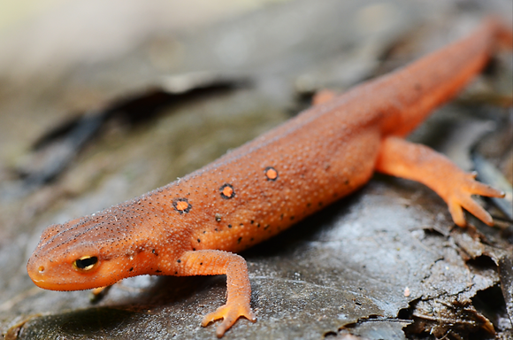 Red Eft  Image No. 016