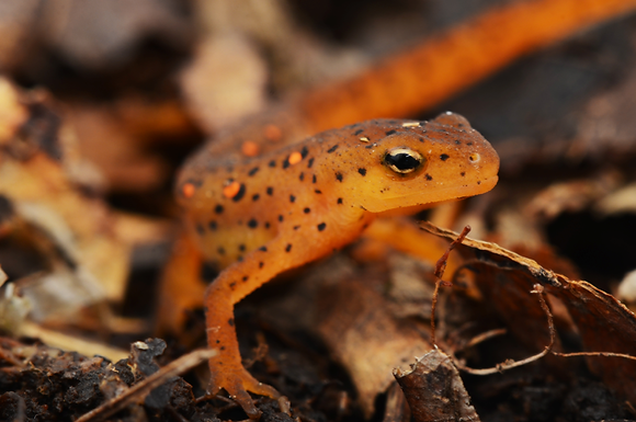 Red Eft  Image No. 015