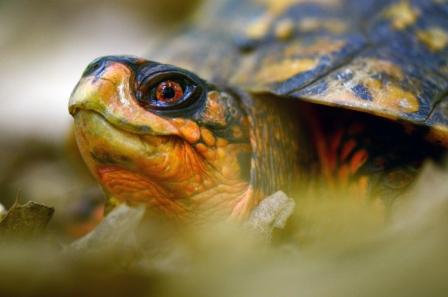 Box Turtle Image No. 128