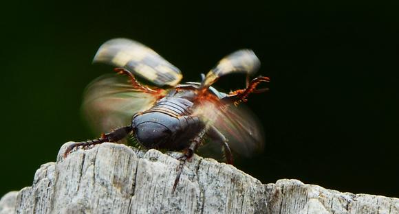 Oriental Beetle Image No. 32